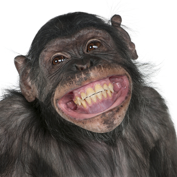 Close-up of Mixed-Breed monkey between Chimpanzee and Bonobo smiling, 8 years old